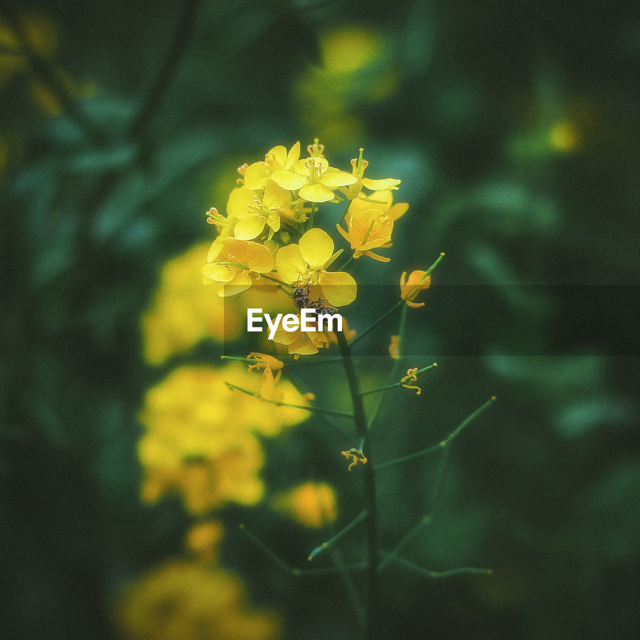 flower, yellow, nature, beauty in nature, growth, fragility, plant, petal, blossom, blooming, freshness, no people, outdoors, mustard plant, day, flower head, close-up