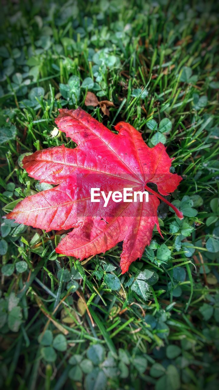 leaf, red, autumn, nature, day, change, outdoors, beauty in nature, green color, growth, no people, maple leaf, close-up, fragility, maple, grass, plant, water, freshness