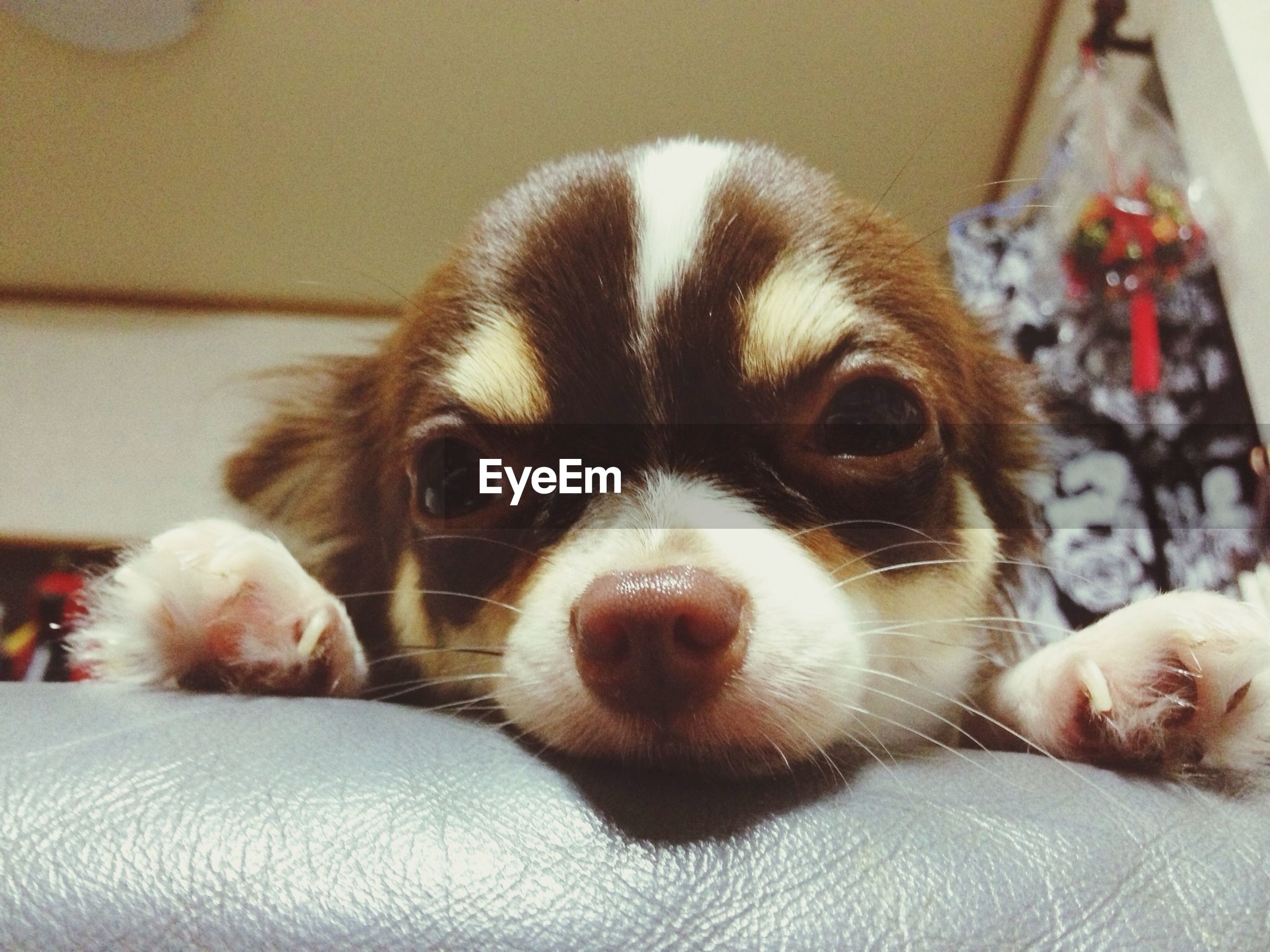 pets, animal themes, domestic animals, indoors, one animal, dog, mammal, portrait, close-up, looking at camera, home interior, relaxation, animal head, bed, resting, animal body part, lying down, cute, sofa, home