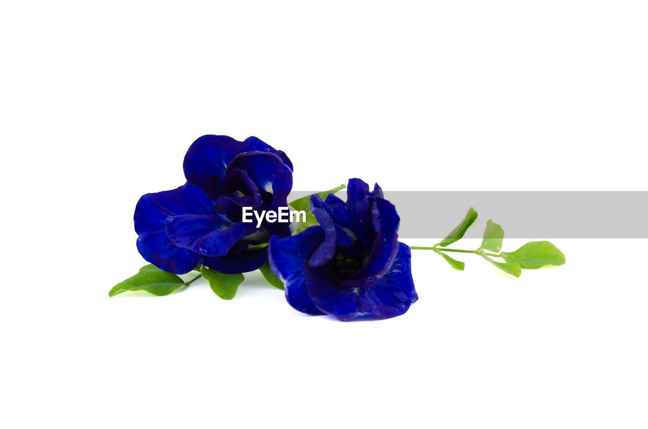 flowering plant, studio shot, white background, flower, beauty in nature, petal, plant, close-up, fragility, vulnerability, freshness, inflorescence, indoors, flower head, cut out, copy space, purple, blue, nature, no people, softness