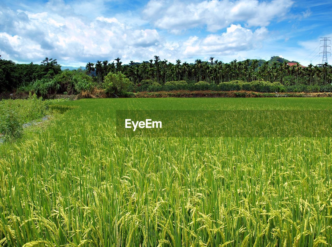 agriculture, field, growth, nature, tree, green color, farm, landscape, sky, rural scene, tranquility, beauty in nature, tranquil scene, crop, cloud - sky, scenics, day, no people, outdoors, cereal plant, grass, rice paddy, freshness