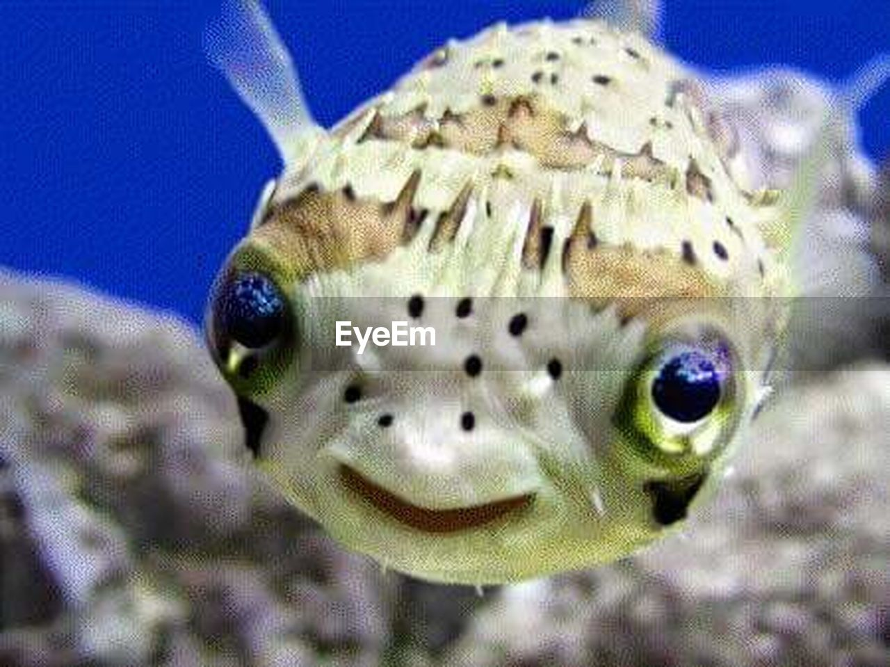 one animal, animal wildlife, animal themes, animals in the wild, close-up, no people, looking at camera, blue, nature, focus on foreground, portrait, underwater, day, sea life, reptile, indoors, undersea, aquarium
