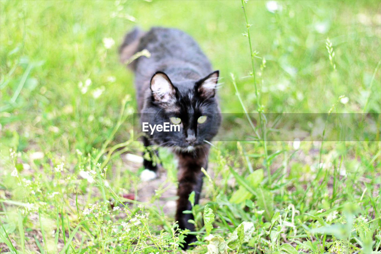 one animal, mammal, domestic, pets, plant, domestic cat, domestic animals, cat, vertebrate, grass, feline, no people, nature, looking at camera, portrait, selective focus, land, whisker