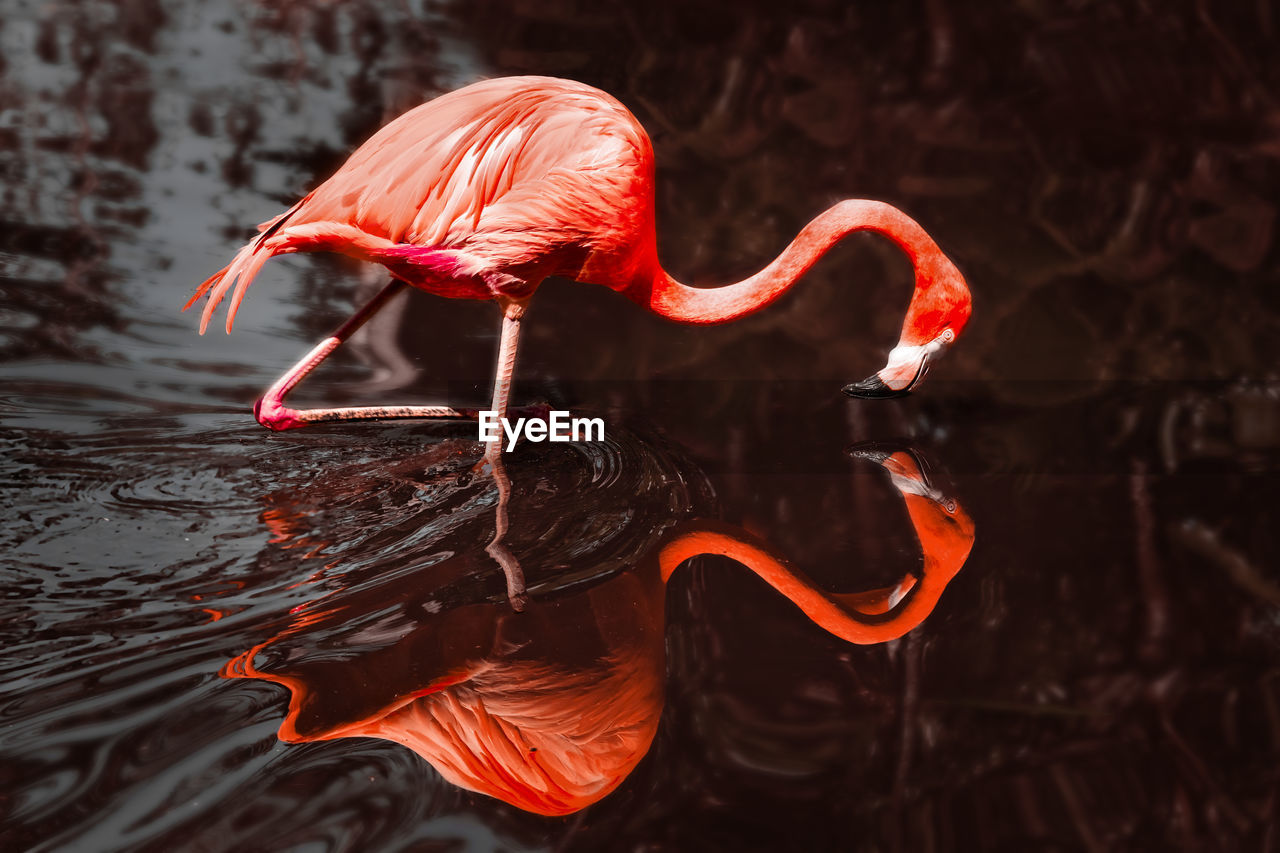 Beautiful flamingo and its reflection in the water