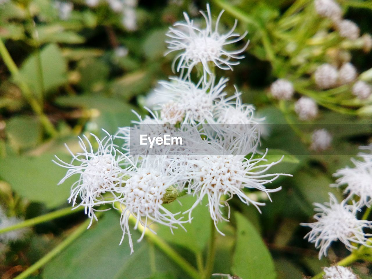flower, nature, fragility, white color, plant, flower head, beauty in nature, growth, close-up, petal, day, no people, outdoors, freshness, passion flower