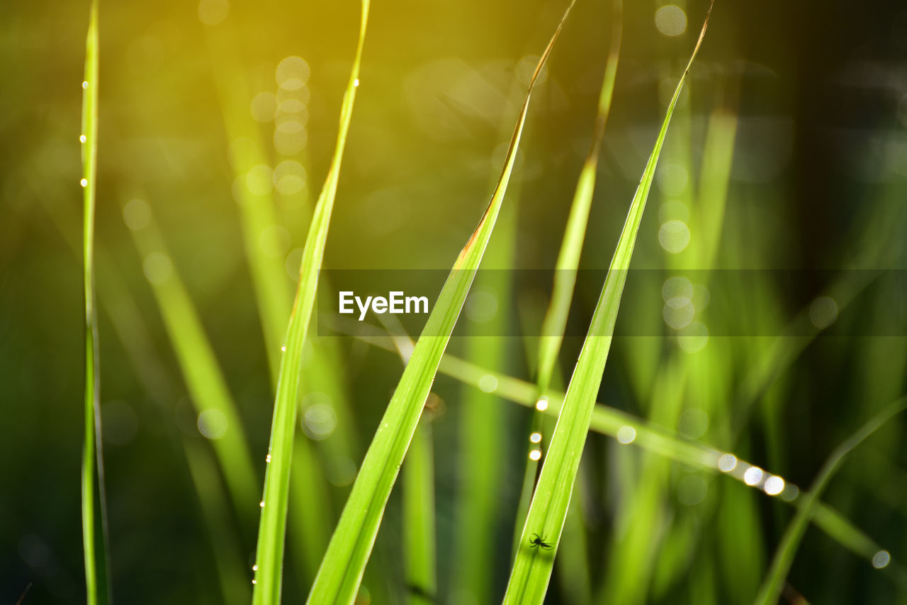 green color, plant, growth, beauty in nature, blade of grass, grass, nature, close-up, focus on foreground, selective focus, water, drop, day, wet, freshness, no people, field, land, tranquility, outdoors, dew, raindrop, bamboo - plant