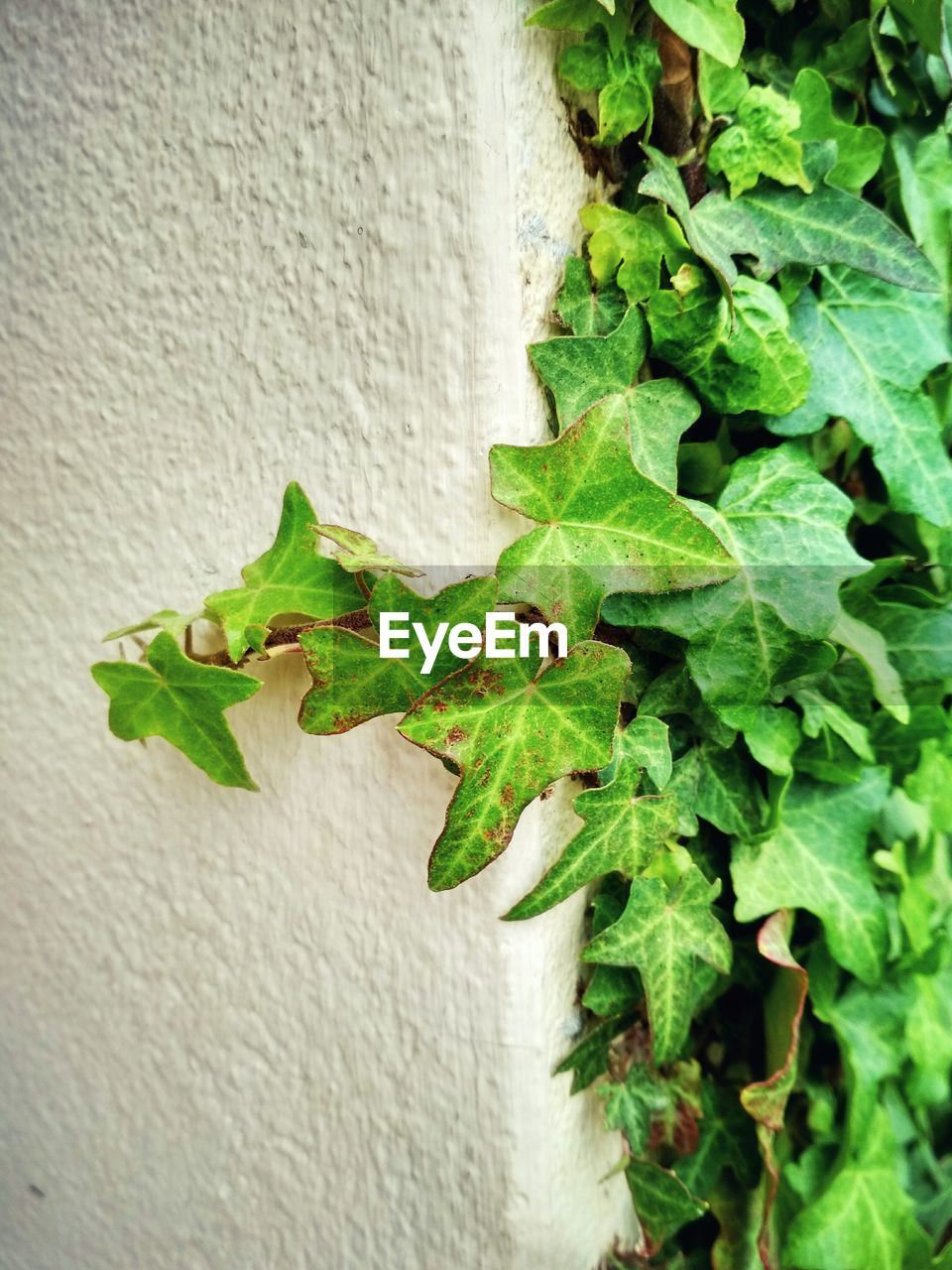 plant part, leaf, wall - building feature, plant, green color, growth, close-up, nature, built structure, day, no people, ivy, wall, outdoors, architecture, creeper plant, beauty in nature, freshness, white color, textured, leaves
