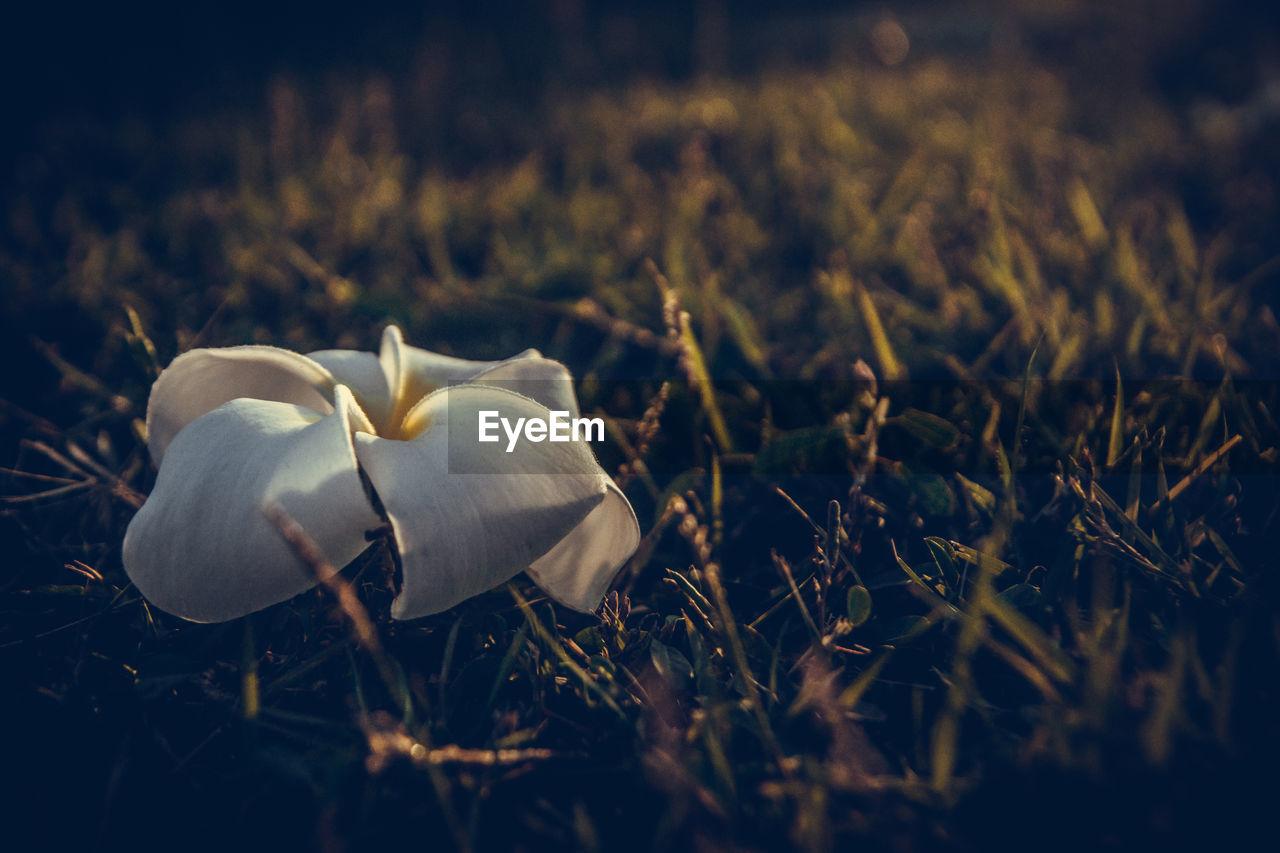 Close-up of fallen white flower on field