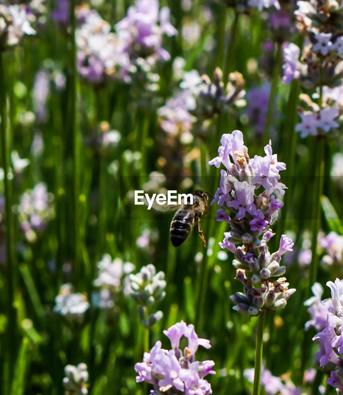 Bee Flying In Lavender Field