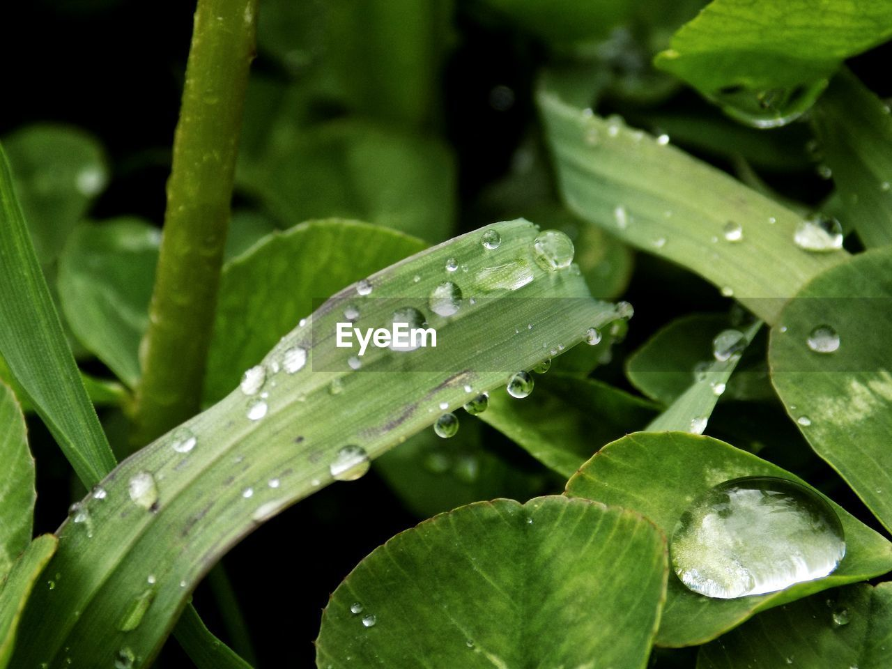 drop, growth, leaf, plant part, water, wet, green color, plant, beauty in nature, close-up, freshness, nature, no people, dew, day, rain, purity, outdoors, raindrop, leaves, rainy season, blade of grass