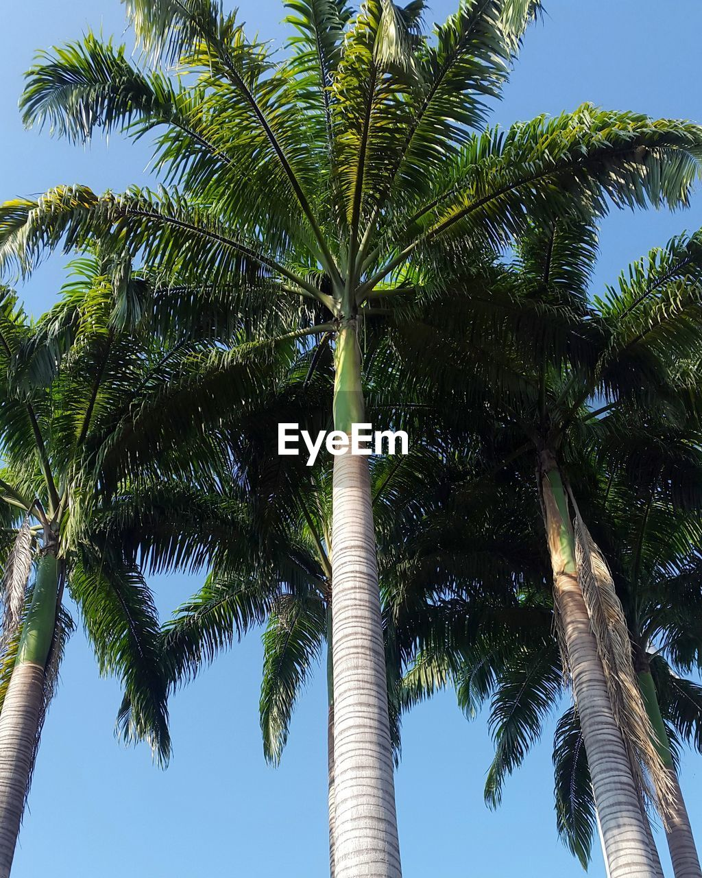palm tree, tree, low angle view, tree trunk, nature, growth, beauty in nature, sky, tropical climate, palm frond, day, outdoors, scenics, blue, tranquility, green color, clear sky, no people, leaf, vacations, coconut