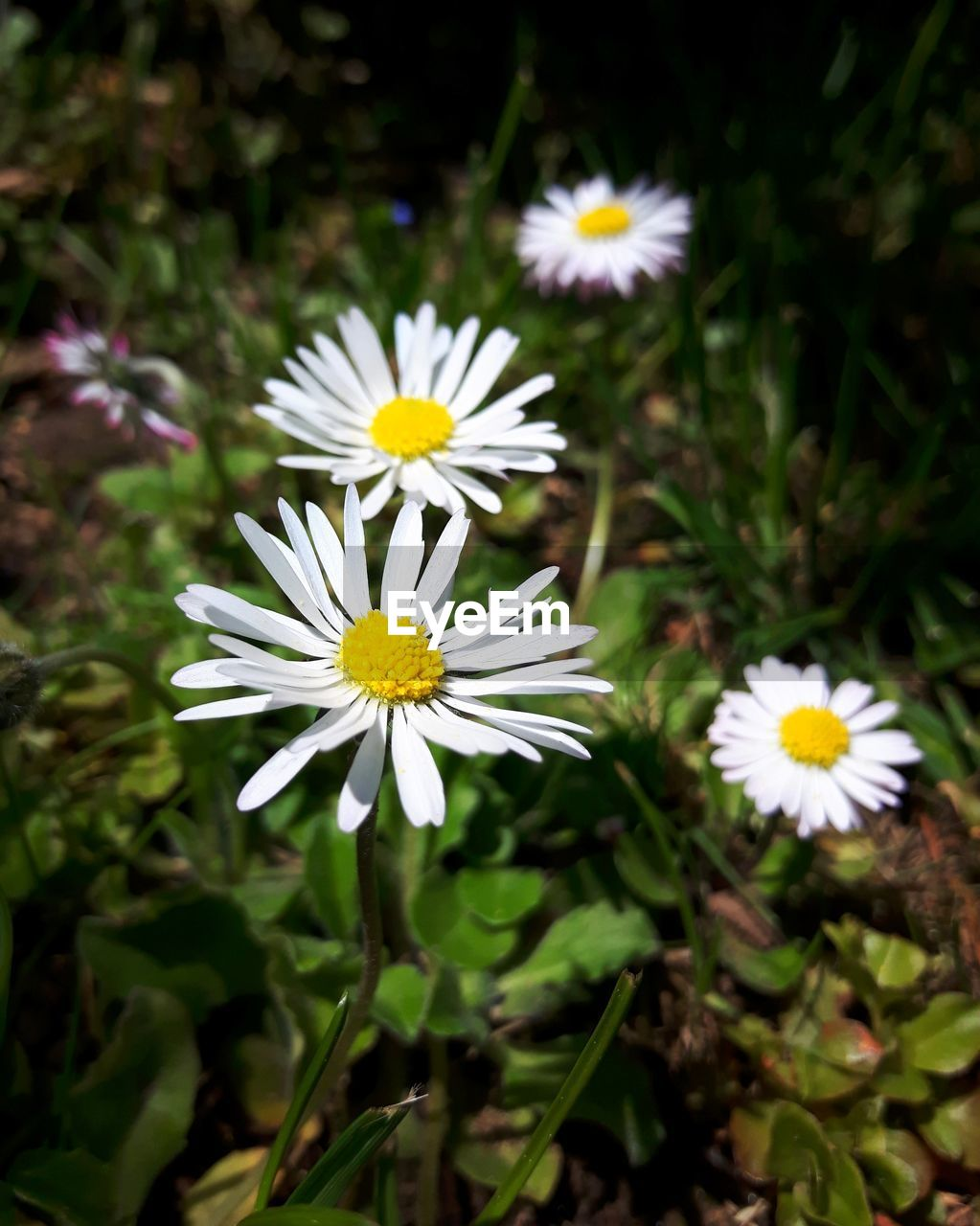 flower, petal, fragility, nature, beauty in nature, freshness, flower head, growth, white color, daisy, blooming, pollen, yellow, day, close-up, outdoors, no people, plant, cosmos flower, osteospermum, crocus