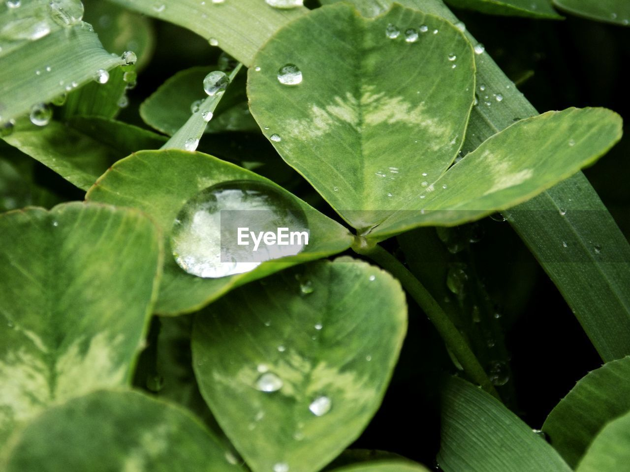 Close-Up Of Raindrops On Leaves