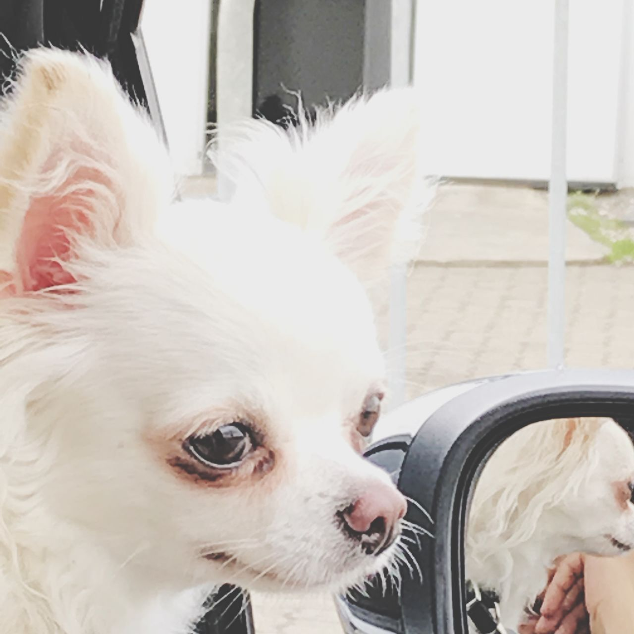 domestic animals, pets, domestic, one animal, mammal, dog, canine, vertebrate, white color, close-up, indoors, looking, looking away, no people, day, whisker