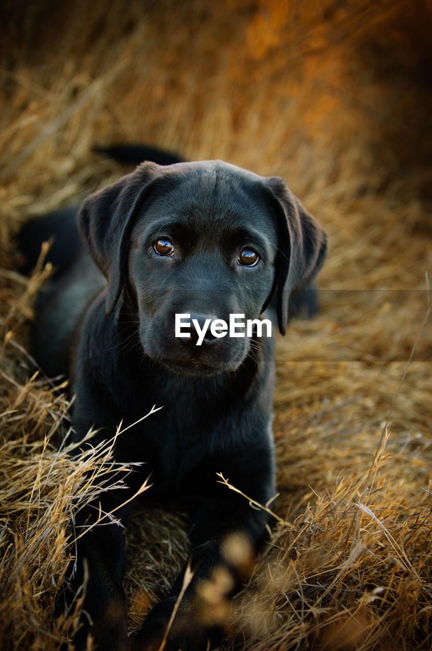 mammal, one animal, dog, pets, domestic, domestic animals, canine, vertebrate, portrait, looking at camera, black color, no people, field, land, nature, selective focus, looking, outdoors