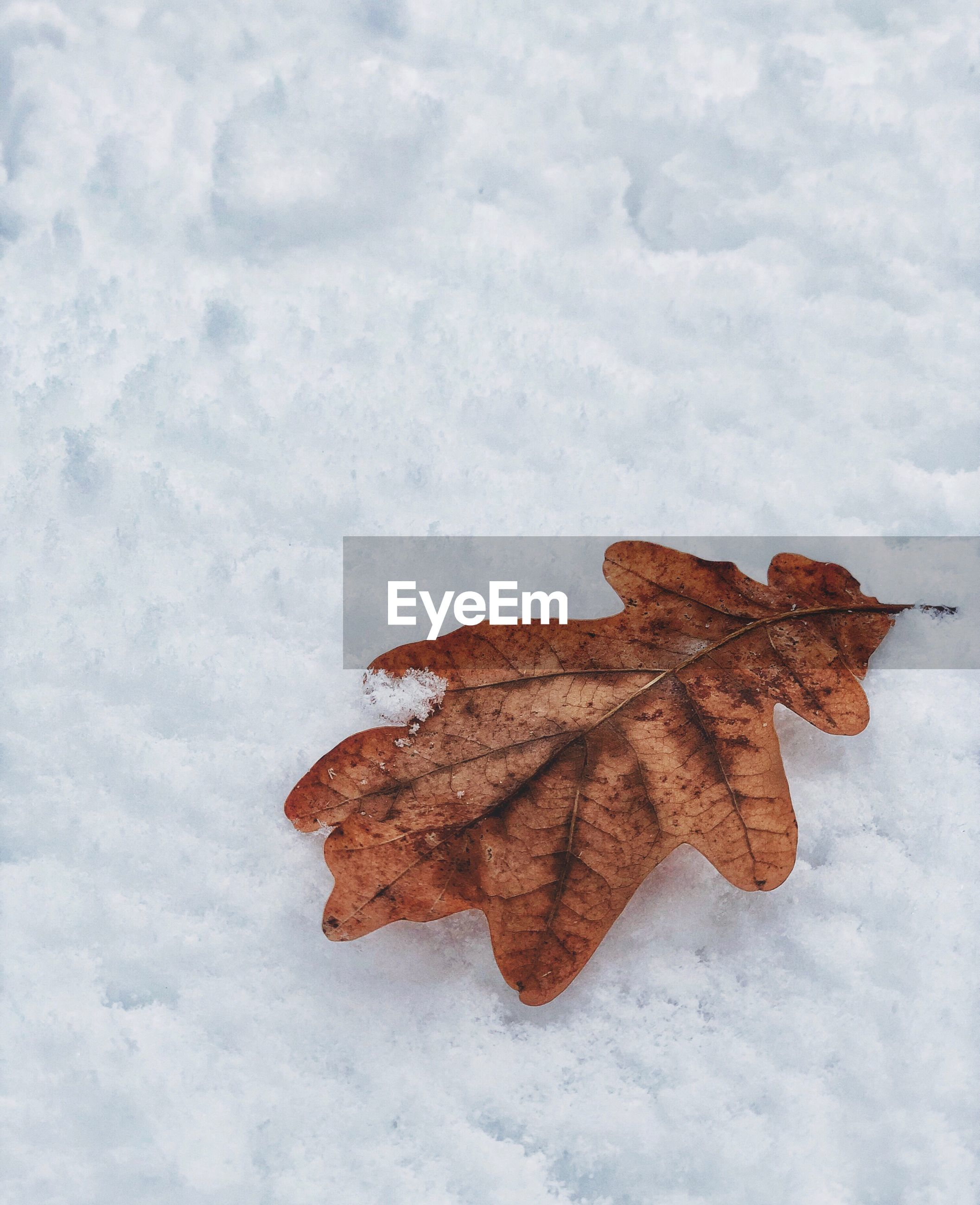 CLOSE-UP OF DRY MAPLE LEAF ON SNOW COVERED LEAVES