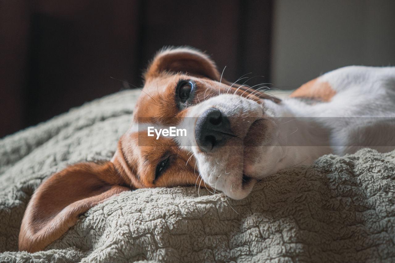 Beagle dog lying on a pillow, sleeping, sad, funny face, big ears.