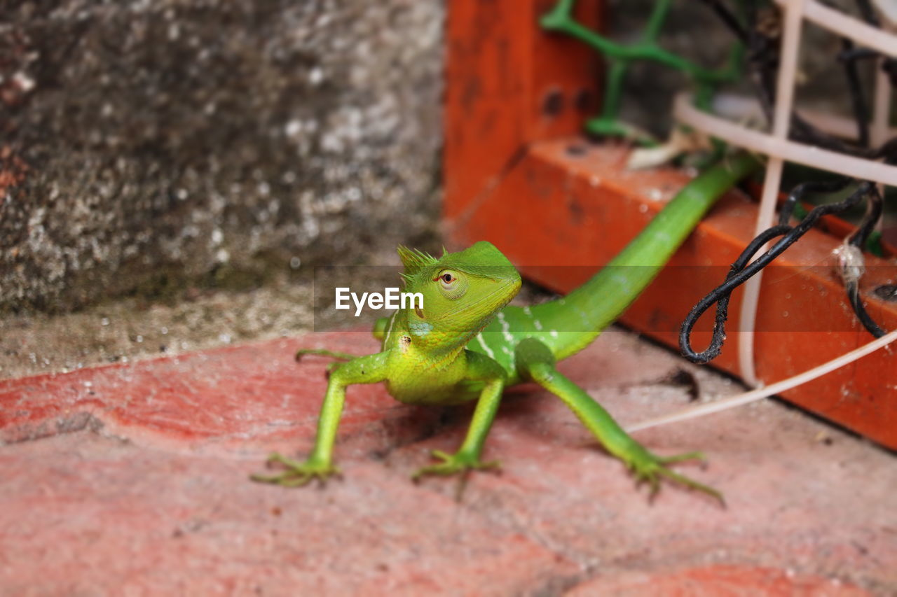 animal wildlife, animals in the wild, animal themes, animal, one animal, green color, no people, vertebrate, day, nature, close-up, amphibian, red, reptile, outdoors, selective focus, high angle view, lizard, frog, wall - building feature