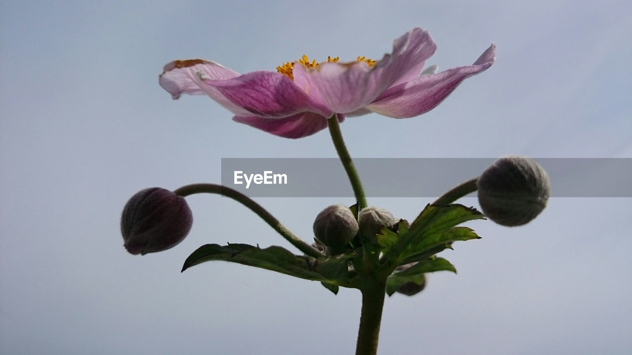 Close-up of pink flower with buds growing against sky