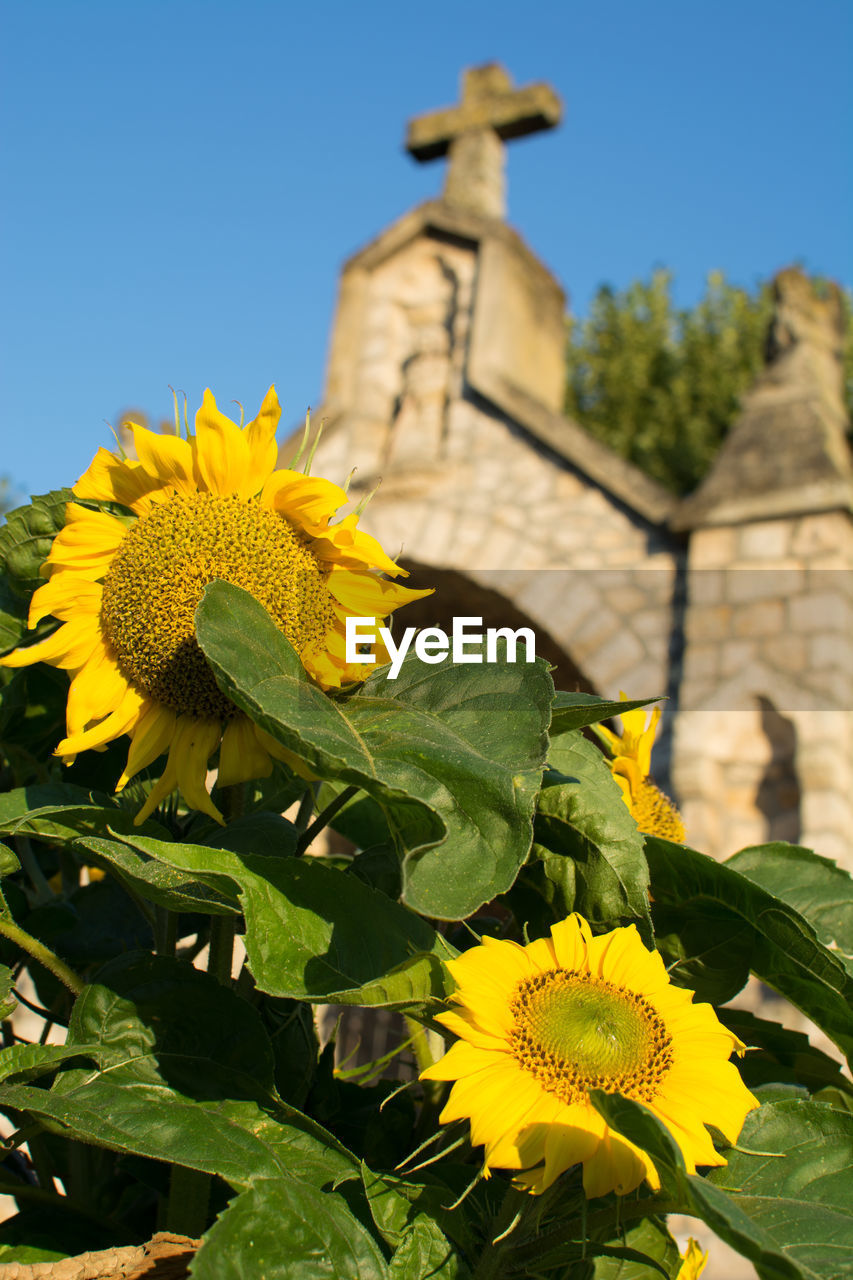 flower, yellow, growth, plant, nature, beauty in nature, freshness, fragility, green color, outdoors, low angle view, clear sky, no people, petal, leaf, day, flower head, blooming, sunflower, built structure, building exterior, architecture, close-up, sky