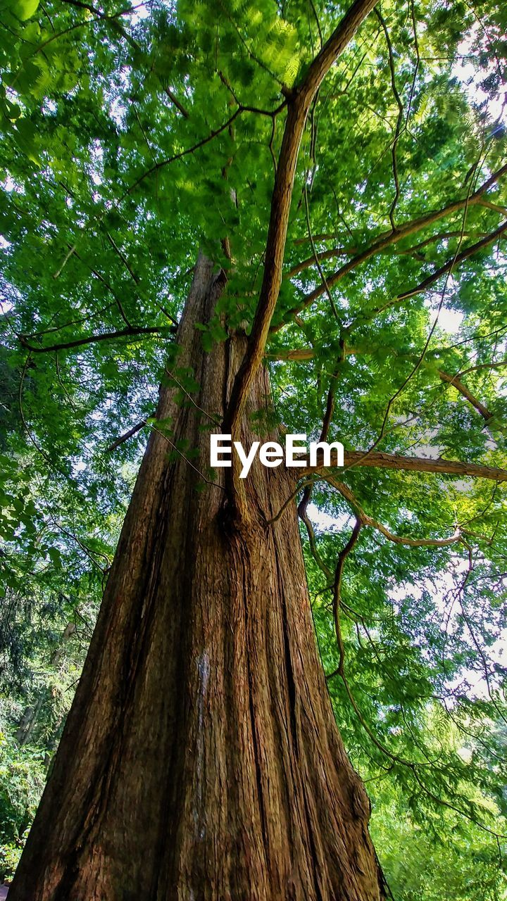tree, plant, tree trunk, trunk, growth, low angle view, nature, forest, tranquility, beauty in nature, no people, land, day, green color, bark, branch, outdoors, textured, plant part, wood - material, woodland, tree canopy, directly below