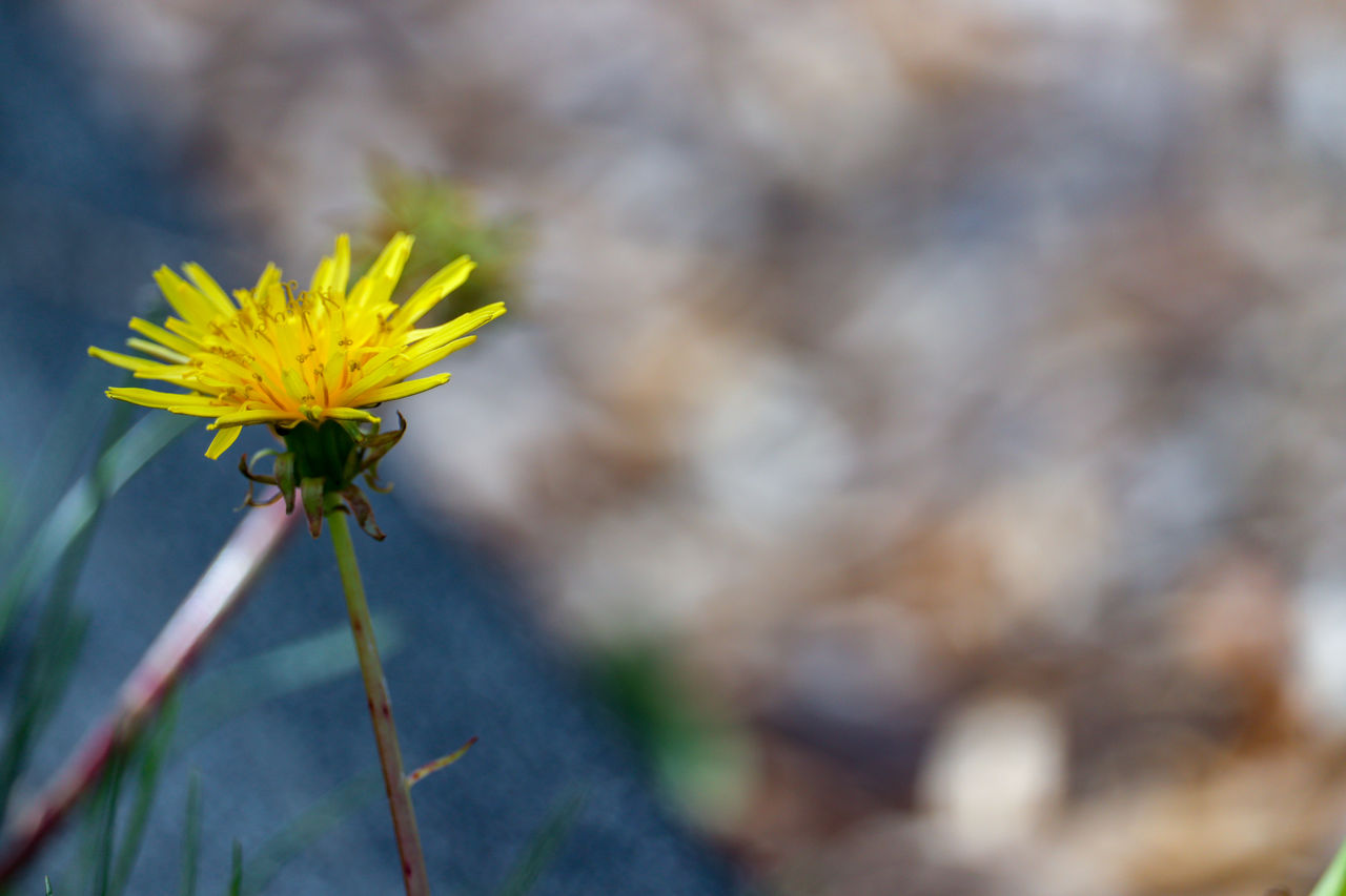 flower, flowering plant, fragility, vulnerability, plant, beauty in nature, yellow, freshness, close-up, growth, focus on foreground, petal, flower head, nature, inflorescence, plant stem, day, no people, outdoors, sepal