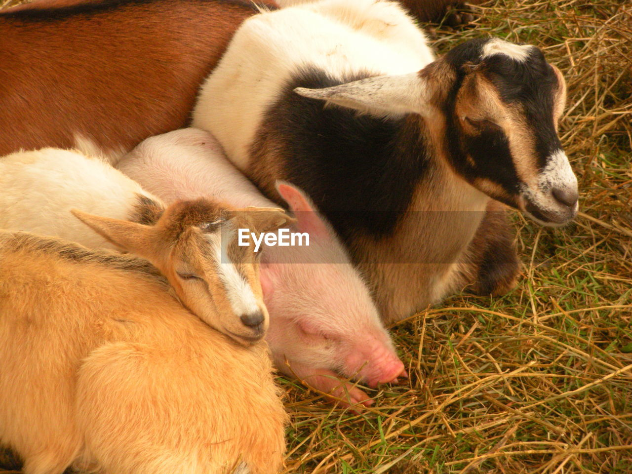 mammal, domestic, animal themes, pets, domestic animals, animal, group of animals, vertebrate, livestock, young animal, two animals, no people, grass, togetherness, dog, canine, field, nature, plant, animal family, herbivorous, animal head
