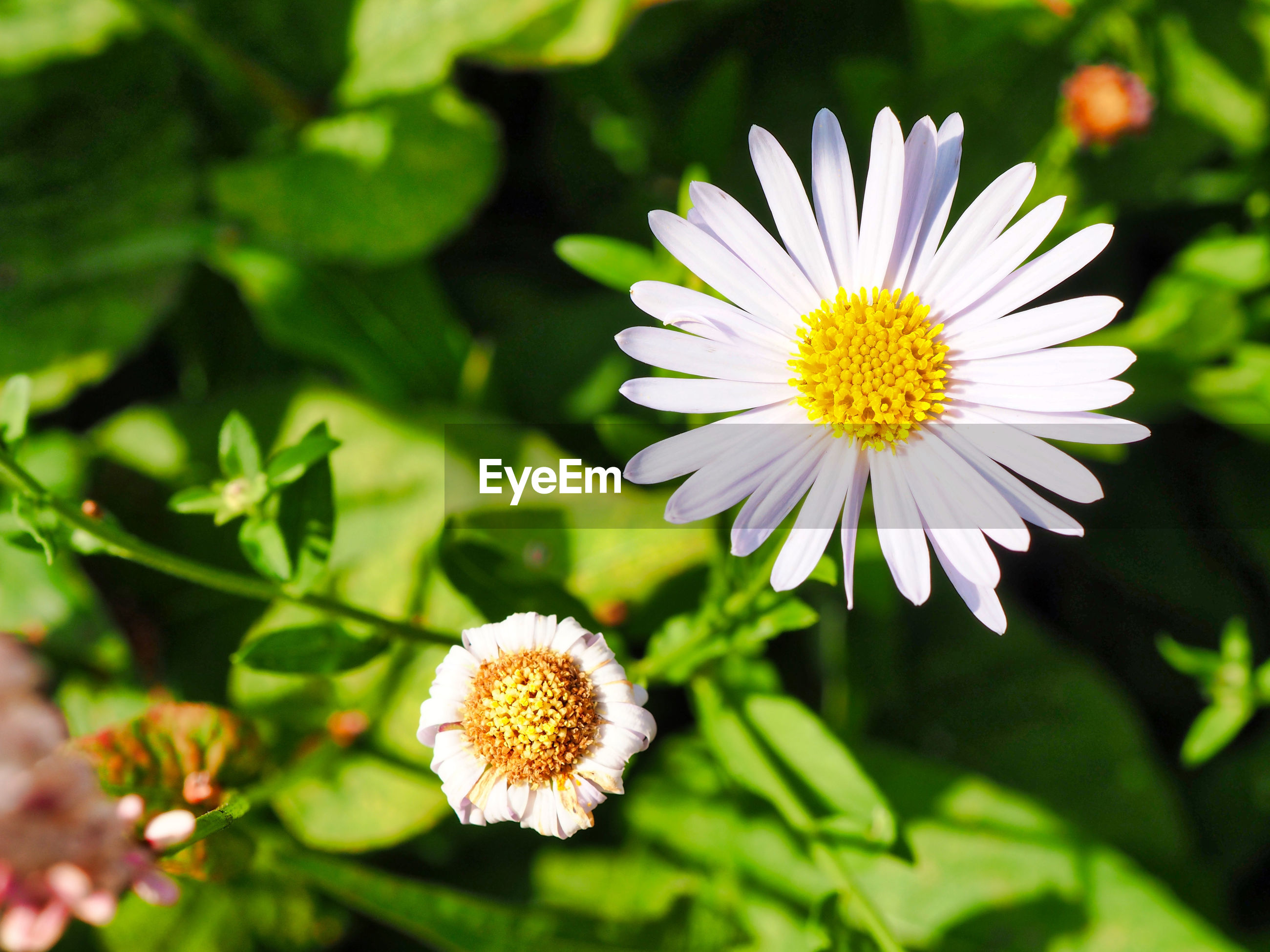 CLOSE-UP OF WHITE DAISIES