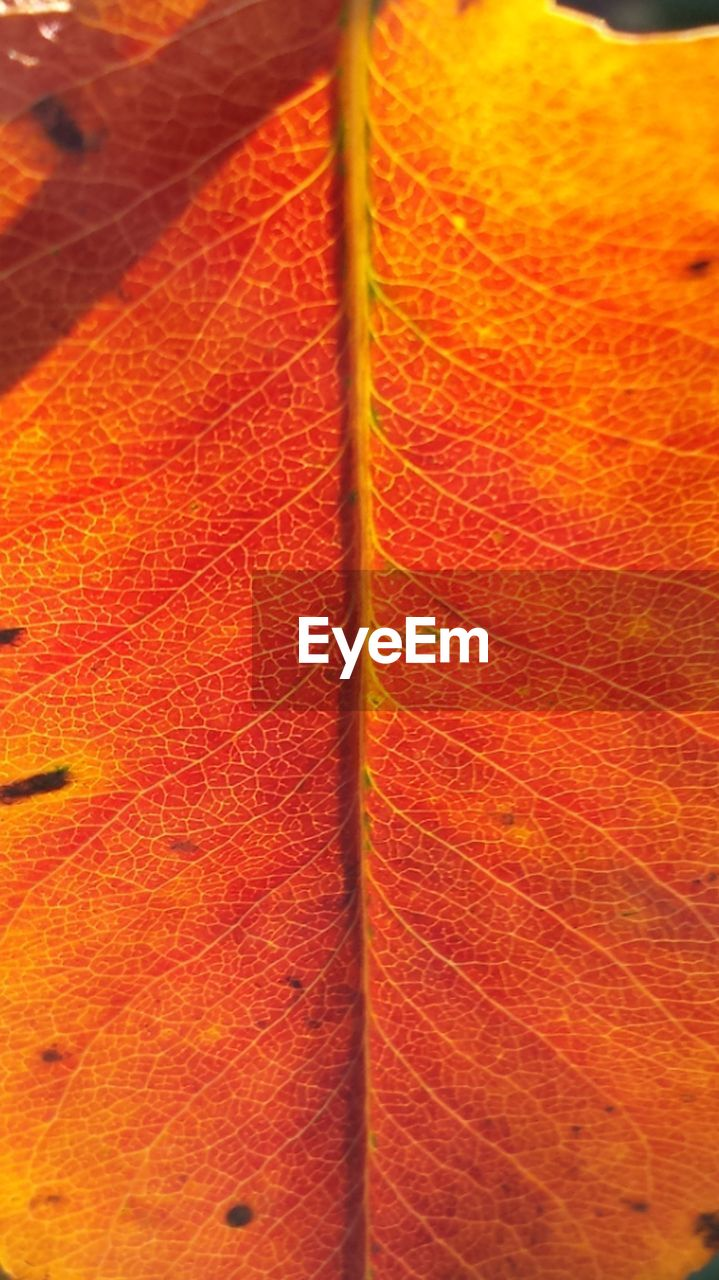 leaf, no people, autumn, close-up, change, nature, day, backgrounds, outdoors, fragility, beauty in nature