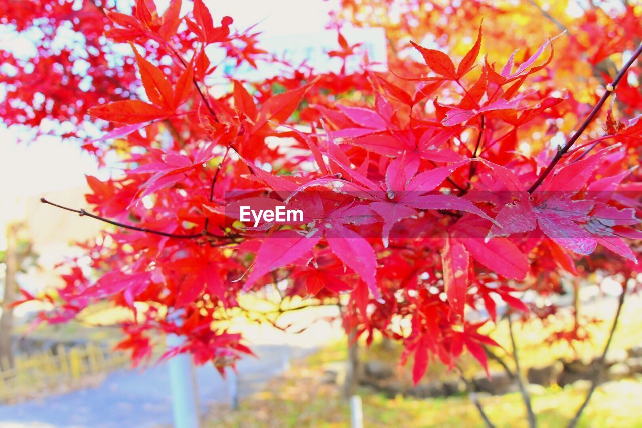 autumn, change, leaf, nature, beauty in nature, maple tree, leaves, maple leaf, growth, maple, tranquility, red, day, no people, tree, outdoors, focus on foreground, branch, close-up, fragility, scenics