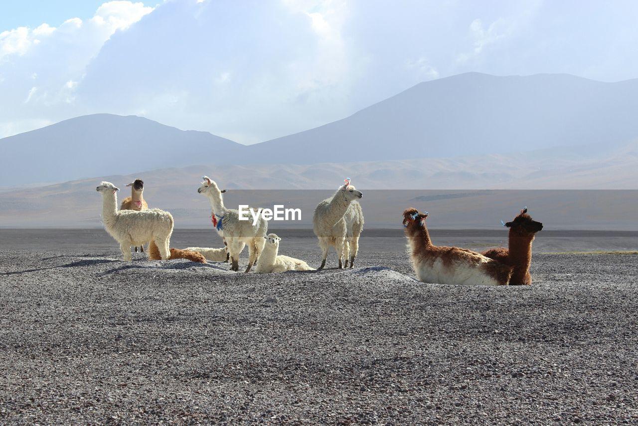 Llamas on sand against mountains