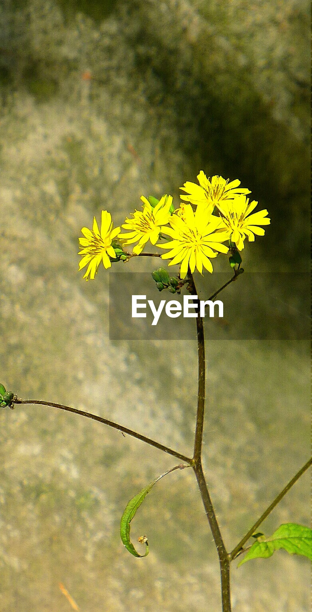flower, yellow, growth, fragility, freshness, beauty in nature, nature, stem, plant, sky, petal, close-up, blooming, leaf, focus on foreground, flower head, green color, in bloom, bud, cloud - sky