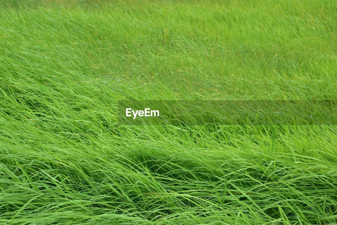 green color, grass, plant, growth, full frame, land, field, nature, backgrounds, day, no people, beauty in nature, tranquility, landscape, outdoors, freshness, high angle view, tranquil scene, environment, scenics - nature, blade of grass