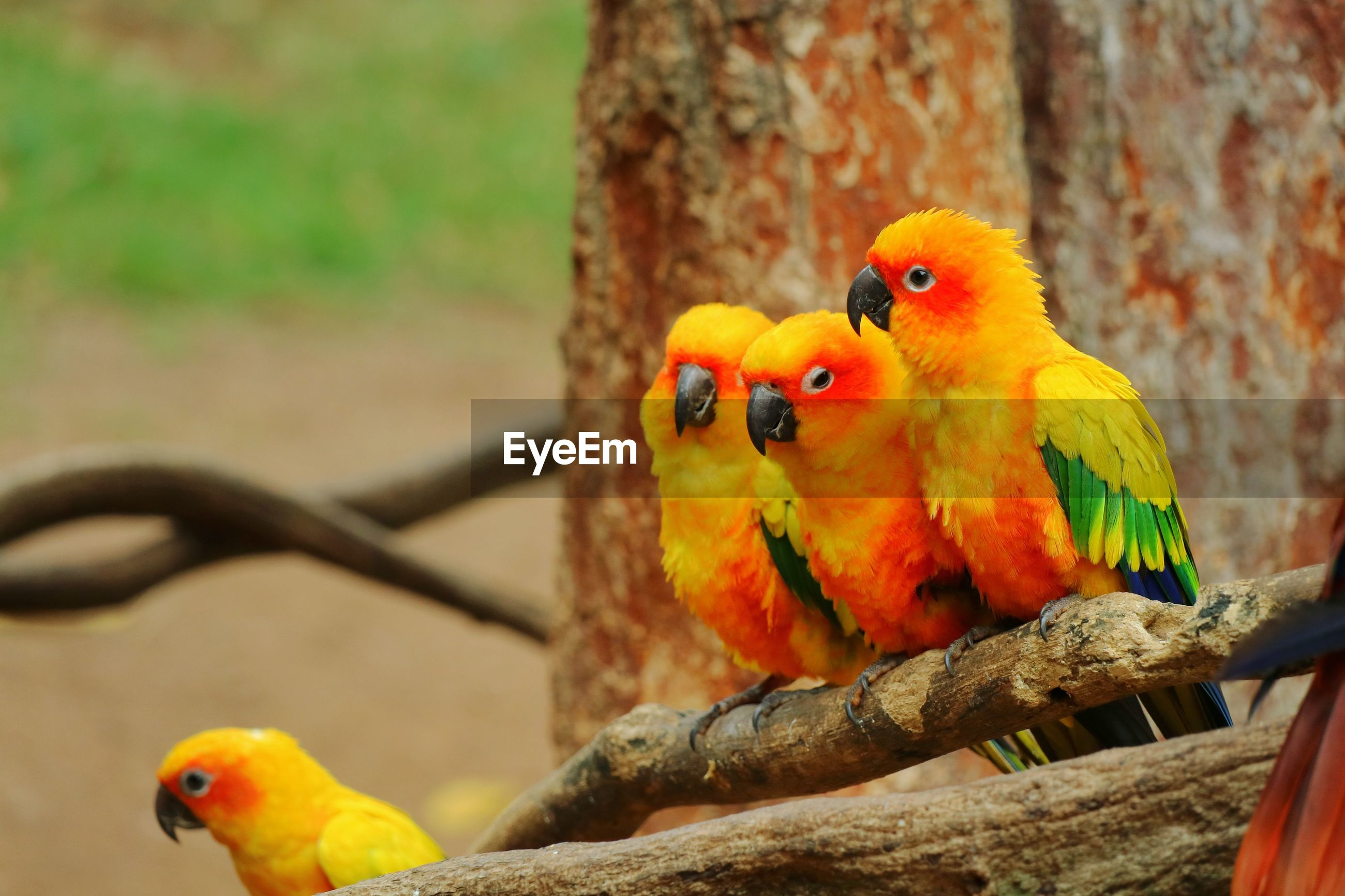 Orange, yellow and green parrots sitting and looking something on a wooden perch.