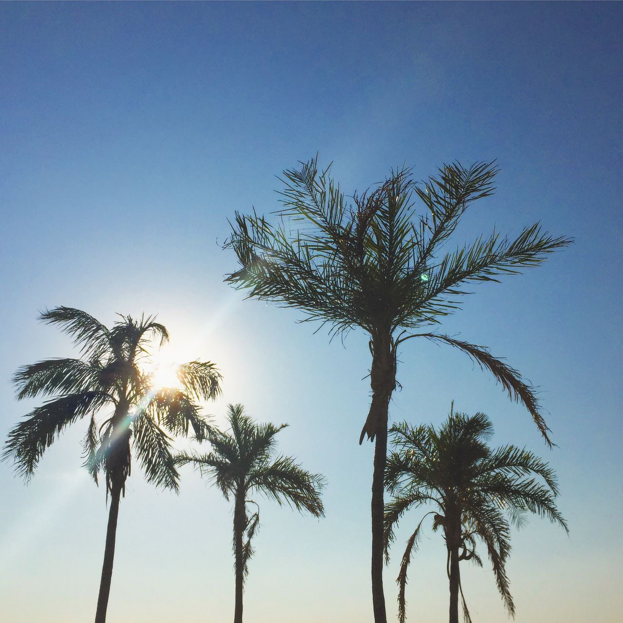 palm tree, sky, tropical climate, tree, growth, plant, low angle view, beauty in nature, clear sky, tranquility, nature, tree trunk, trunk, scenics - nature, no people, tranquil scene, tropical tree, sunlight, outdoors, tall - high, coconut palm tree, palm leaf, treetop