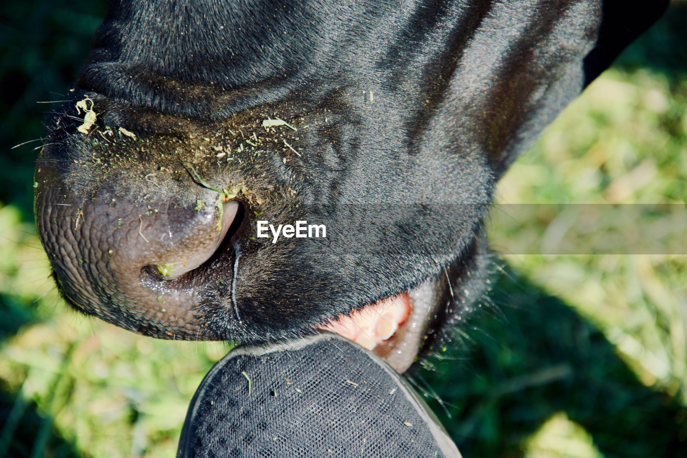 one animal, mammal, animal, animal themes, vertebrate, pets, domestic, close-up, domestic animals, focus on foreground, animal body part, animal head, day, animal nose, livestock, animal mouth, cattle, real people, animal wildlife, nature, outdoors, herbivorous, snout, animal teeth