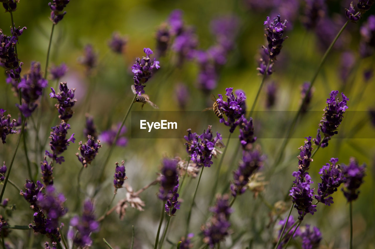 flowering plant, flower, vulnerability, fragility, growth, plant, beauty in nature, purple, freshness, lavender, close-up, petal, nature, day, no people, field, focus on foreground, land, plant stem, flower head, pollination, butterfly - insect