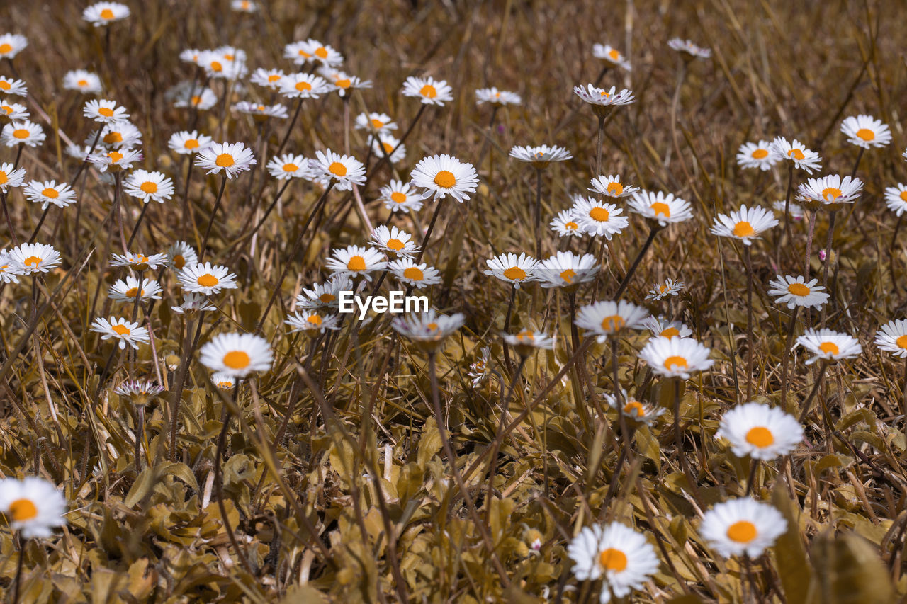 flower, flowering plant, freshness, plant, vulnerability, beauty in nature, fragility, growth, nature, day, field, no people, land, close-up, petal, high angle view, selective focus, white color, abundance, outdoors, flower head