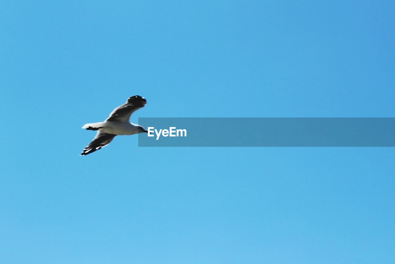 flying, animals in the wild, animal wildlife, bird, vertebrate, animal themes, one animal, sky, animal, low angle view, copy space, spread wings, clear sky, mid-air, blue, day, no people, nature, motion, seagull, outdoors