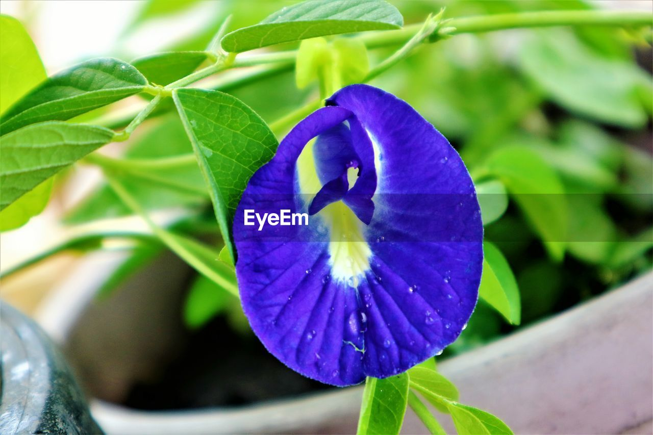 leaf, flower, growth, plant, beauty in nature, fragility, petal, nature, blue, purple, freshness, green color, close-up, day, no people, outdoors, flower head