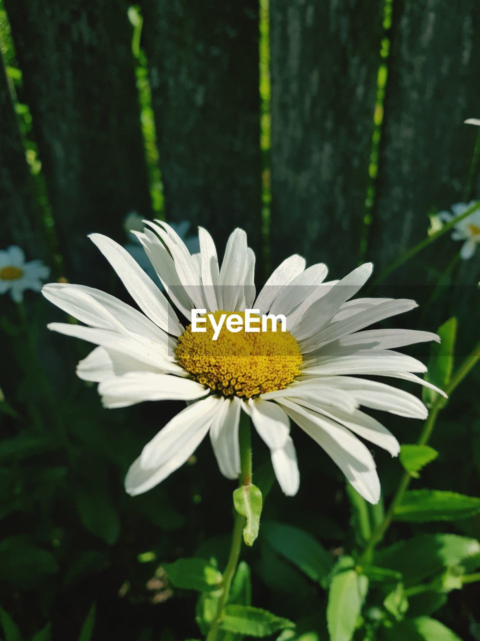 flowering plant, flower, plant, fragility, vulnerability, freshness, flower head, beauty in nature, growth, petal, inflorescence, yellow, close-up, white color, pollen, focus on foreground, nature, day, daisy, no people, outdoors