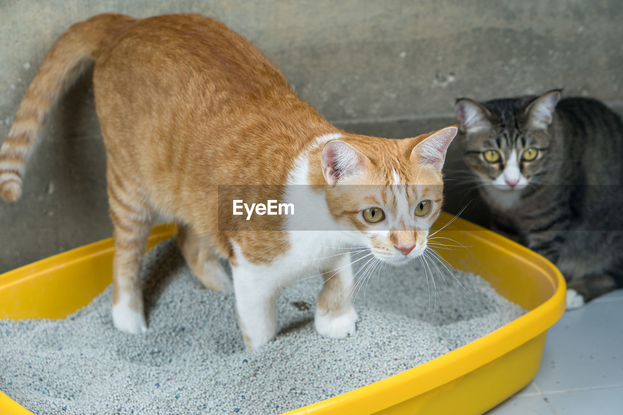 cat, feline, pets, domestic cat, mammal, domestic animals, domestic, animal themes, animal, vertebrate, looking at camera, portrait, whisker, group of animals, no people, focus on foreground, two animals, day, close-up, ginger cat, yellow eyes, animal eye