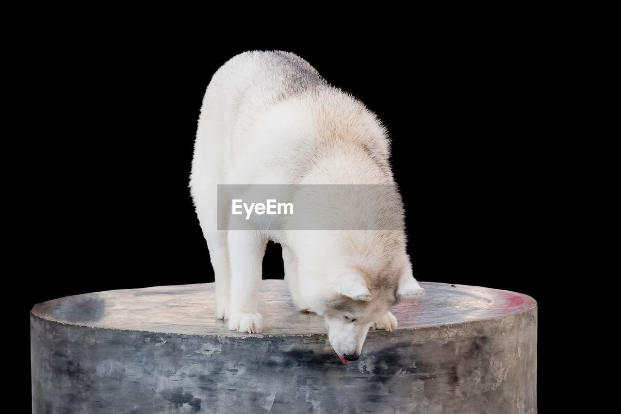 animal, animal themes, one animal, mammal, vertebrate, white color, animal wildlife, domestic, domestic animals, copy space, studio shot, no people, pets, black background, animals in the wild, indoors, wood - material, close-up, white, nature