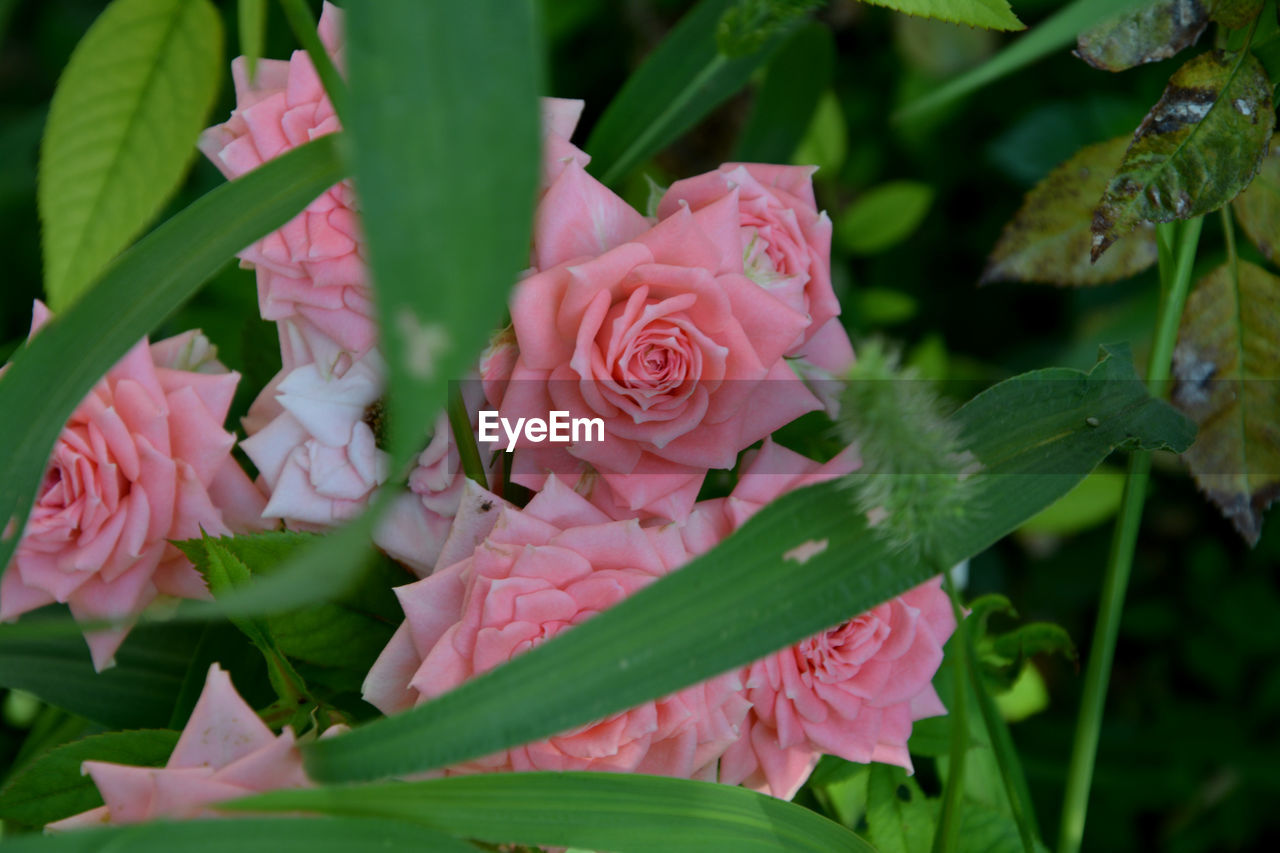 flower, pink color, petal, fragility, beauty in nature, growth, nature, rose - flower, flower head, freshness, leaf, plant, no people, close-up, outdoors, green color, day, blooming