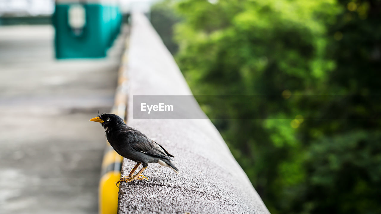 Myna Perching On Retaining Wall