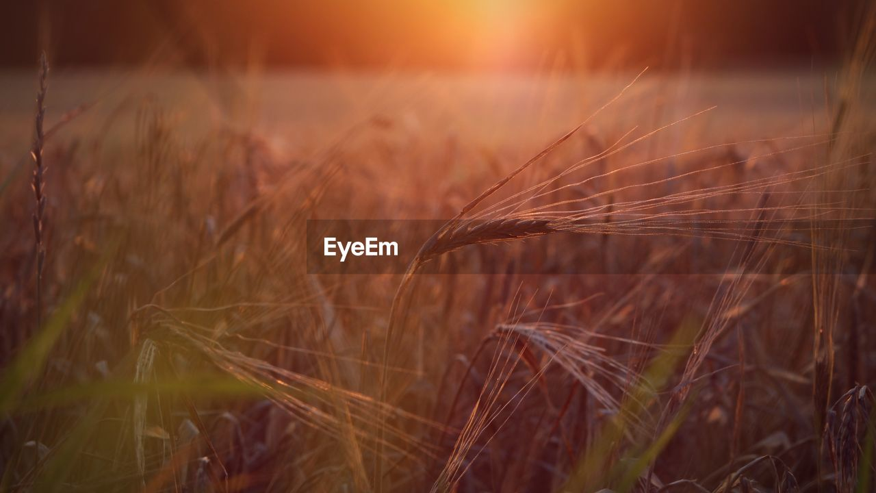 plant, growth, field, agriculture, crop, cereal plant, nature, sunset, tranquility, land, beauty in nature, close-up, wheat, focus on foreground, no people, sky, rural scene, landscape, selective focus, farm, outdoors, timothy grass, stalk
