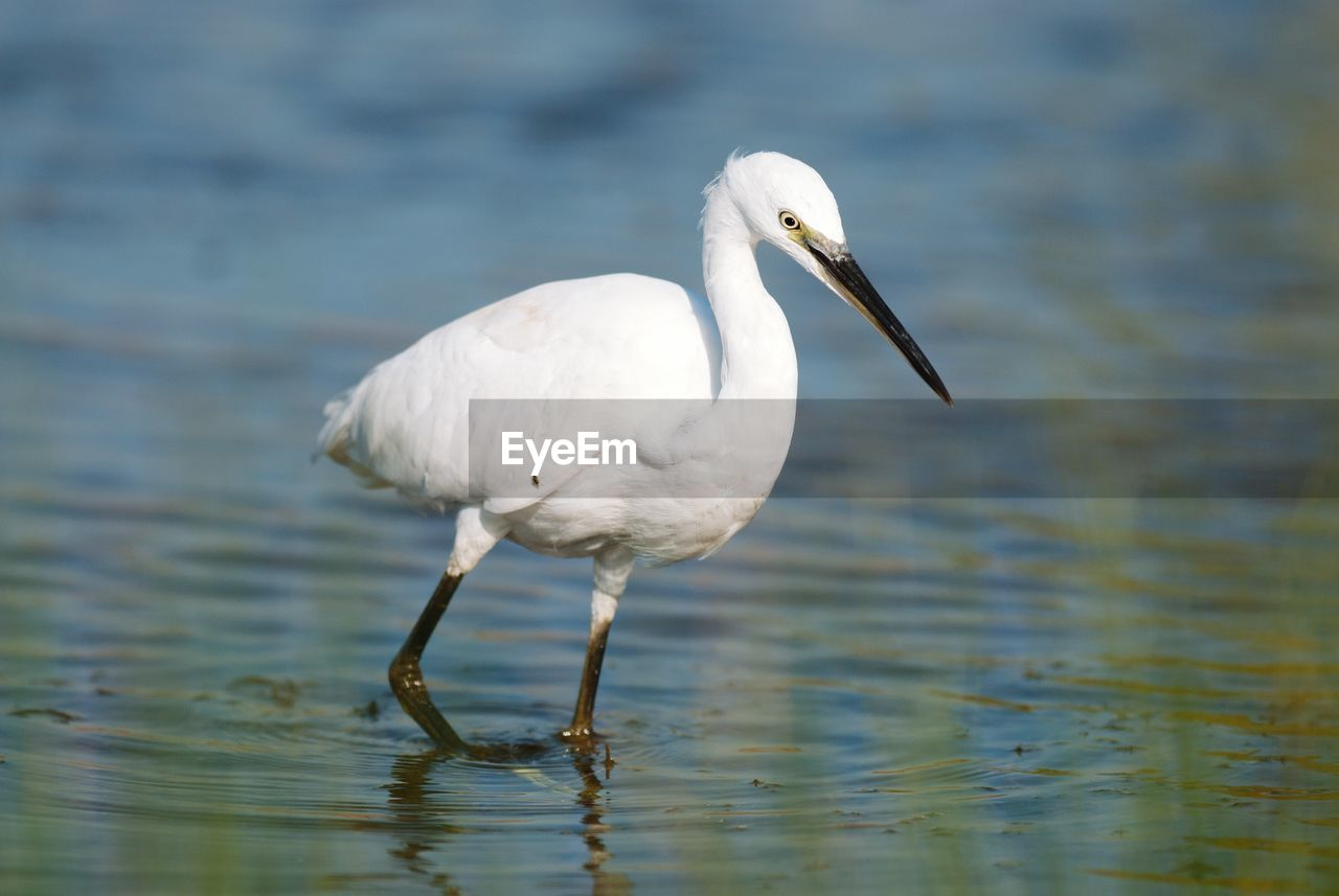 one animal, animal, animal themes, animal wildlife, animals in the wild, bird, vertebrate, water, white color, no people, day, focus on foreground, nature, lake, waterfront, egret, looking, outdoors