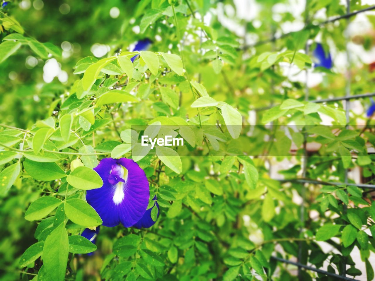 growth, flower, beauty in nature, nature, fragility, freshness, green color, plant, day, leaf, petal, focus on foreground, outdoors, flower head, no people, blue, close-up, blooming
