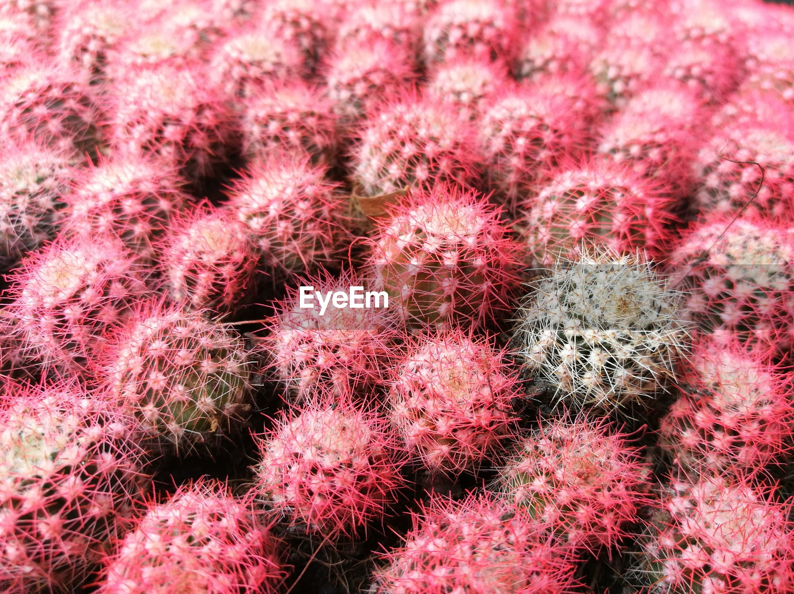 Full frame shot of pink cacti