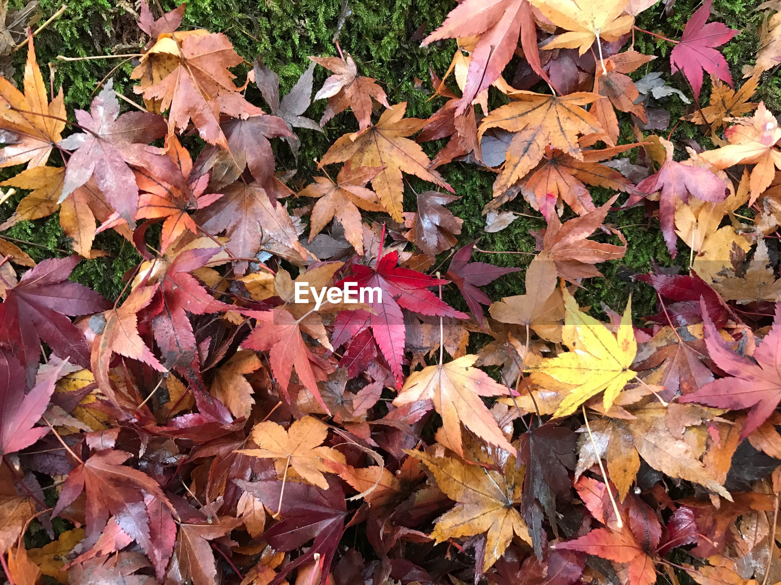 CLOSE-UP OF MAPLE LEAVES FALLEN ON AUTUMN